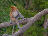 Proboscis Monkey - male - young adult