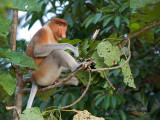Proboscis Monkey - male 2