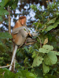 Proboscis Monkey - male 4