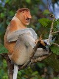 Proboscis Monkey - male 3