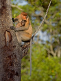 Proboscis Monkey - mom & baby