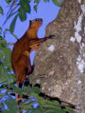 Red Flying Squirrel - climbing