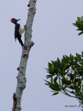 White-bellied Woodpecker - going up