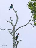 White-bellied Woodpecker & Dollarbird