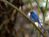 Hainan Blue-Flycatcher - 2010