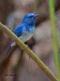 Hainan Blue-Flycatcher - typical morph - 2010