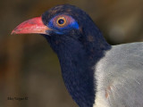 Corall-billed Ground-Cuckoo - portrait with flash - 2010