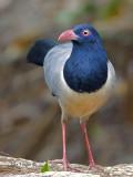 Corall-billed Ground-Cuckoo - alert - 2010