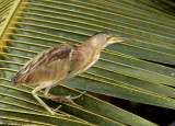 Yellow Bittern - juvenile - alert