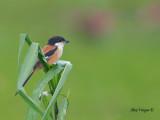 Long-tailed Shrike - far away