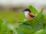 Long-tailed Shrike - hide out