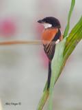 Long-tailed Shrike - back view