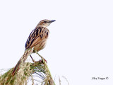 Striated Grassbird - sp 311