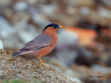 Brahminy Starling - full color