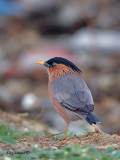 Brahminy Starling - back view