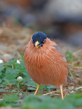 Brahminy Starling - angry birds look