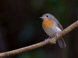 Thikels Blue-Flycatcher - female - 2010