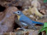 Thikells Blue Flycatcher - female