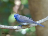 Black-naped Monarch - female