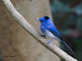 Black-naped Monarch - male - why the name