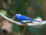 Black-naped Monarch - male - 2010
