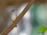 Asian Brown-Flycatcher - alert