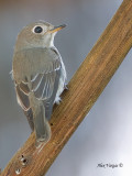 Asian Brown-Flycatcher - back view