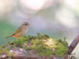 Radde's warbler - far away