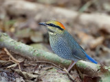 Blue Pitta - female - 2011