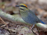 Blue Pitta - female