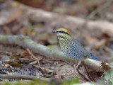 Blue Pitta - female - far away