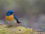 Hill Blue-Flycatcher - male - 2012