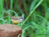 Yellow-bellied Prinia - on the rocks