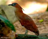 Malayan Night Heron -- sp 174