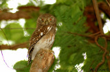 Asian Barred Owtlet -- 2007