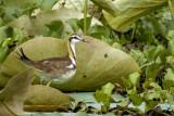 Pheasant-tailed - Jacana non breed -- 2008