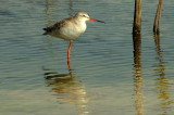 Spotted Redshank -- sp 182