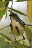 Fire-breasted Flowerpecker male -- sp 48