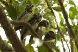 Spotted Owlet -- 2008