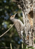 Northern Flicker female -Yellow Shafted-
