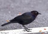 Brewer's Blackbird male