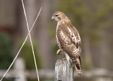 Broad-winged Hawk juvenile