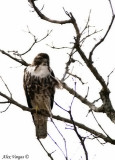 Rought-legged Hawk