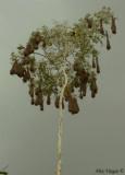 Montezuma Oropendula's nesting colony