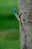 Blue-hooded Lizard
