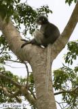 Silver-flanked Leaf-Monkey