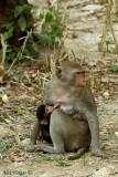 Long-tailed Macaque + baby