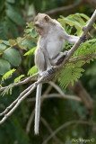 Long-tailed Macaque - profile