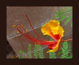Red Bird Of Paradice