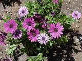 Garden Daisys